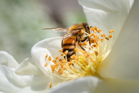 Honeybee collecting pollen from white flowers with blurred background Stock Photo