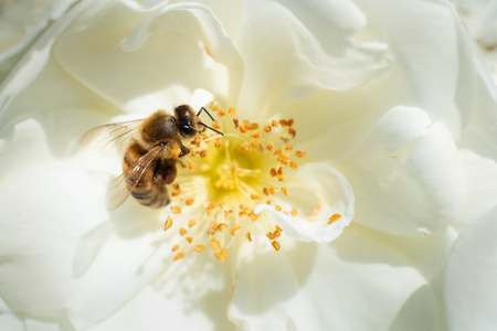 Honeybee collecting pollen from white flowers Stock Photo