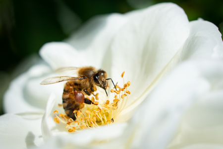 Honeybee collecting pollen from white flowers with green blurred background