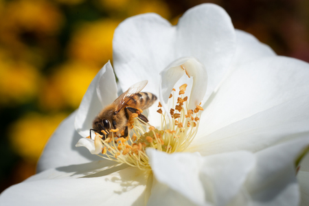 Honeybee collecting pollen from white flowers with yellow blurred background Stock Photo