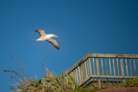 Gannet flying over the Muriwai viewing platform in west Auckland under the blue sky Stock Photo