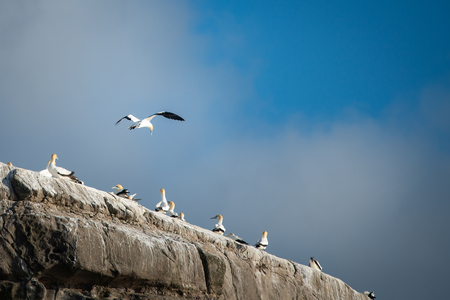 Gannet flying home at Muriwai Gannet Colony in west Auckland Stock Photo