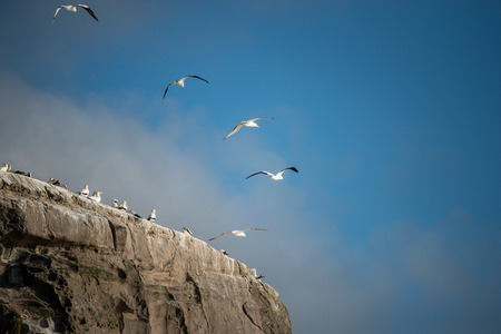 Gannets flying  at Muriwai Gannet Colony in west Auckland Stock Photo