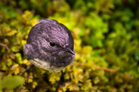 South Island Robin in Milford Track, Fiordland National Park New Zealand