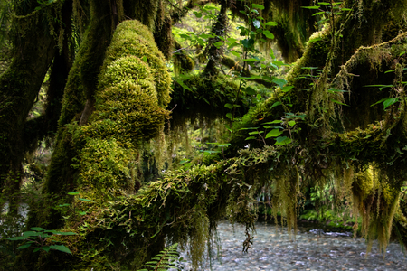 Moss-covered  tree branches of a lush green tree in Milford Track