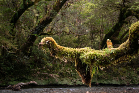 Bird-like moss-covered tree branch on Milford Track Stock Photo