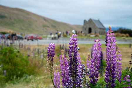 Purple lupin flowers with the Church of Good Shepherd and crowds in the distance, Lake Tekapo, New Zealand Stock Photo