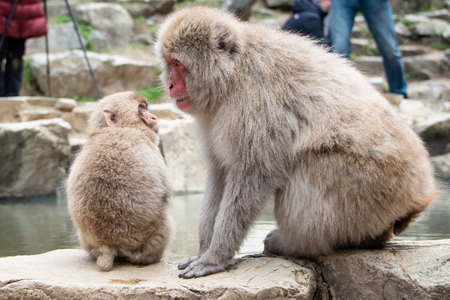 """Baby snow monkey plays with mummy monkey in the Jigokudani (means """"Hell's Valley"""") snow monkey park around the hot spring with visitors around"""