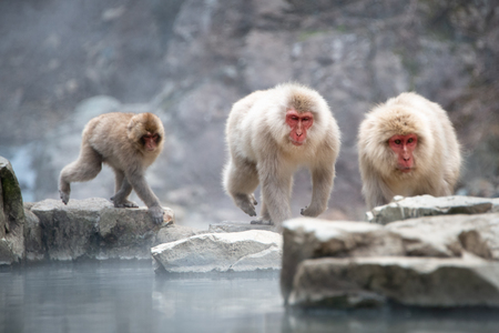 Three Japanese Macaque monkeys playing along the hot spring in the Jigokudani (means Hell's Valley) snow monkey park in Nagano Japan