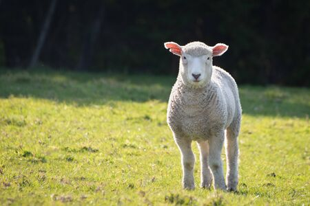 Baby lamb on the green hills in spring in New Zealand