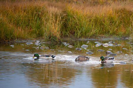 Ducks swimming in the Snake river in Grand Teton National Park