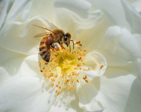 Honeybee gathering nectar and pollen from white flowers