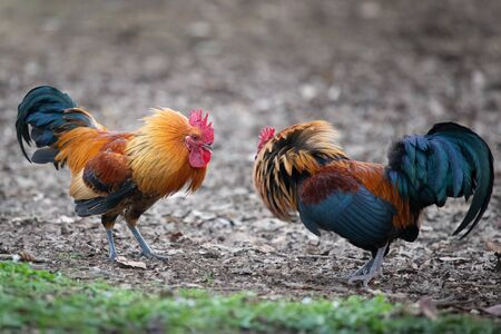 Two colourful wild roosters fighting in the Western Spring park Reklamní fotografie