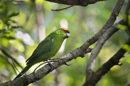 Red Crowned Parakeet, commonly known by its Maori name kakariki