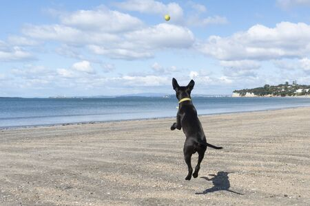 A blank puppy jumping in the air and chasing the ball on the beach  Stock fotó