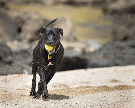 A black puppy playing with a ball with the ball and sand in its mouth