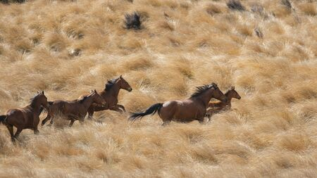 Kaimanawa wild horses running with flying mane on the red tussock grassland