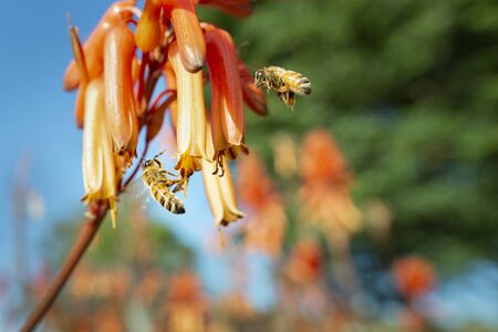 Honey bees flying towards flowers in search of nectar