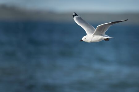 Flying seagull over the sea. Photo taken using camera panning technique. Banque d'images