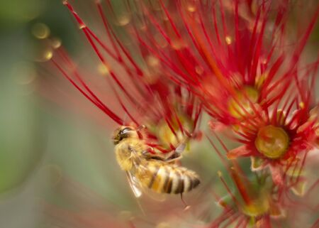 Honey bee gathering nectar and pollen from the red Pohutukawa flowers. The Pohutukawa tree which is also called the New Zealand Christmas tree is in full bloom in summer. Фото со стока