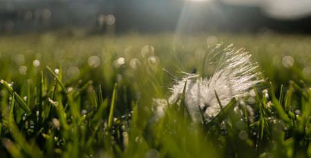 Backlit white fluffy floaties of dandelion lying on the green grass with morning dew Imagens