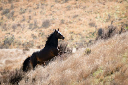 A black Kaimanawa wild horse running up the red tussock hills