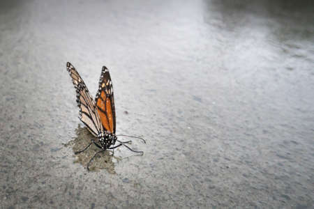 Butterfly on the wet pavement in the rain