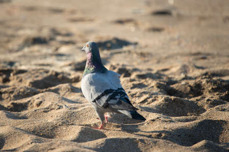 Dove walking on the golden sand beach in the early morning Imagens
