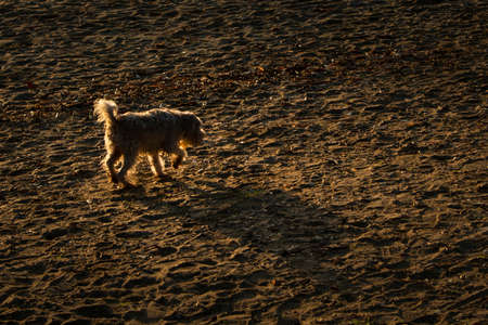 A small dog walking on the beach with long shadows, back lit by the early morning sun