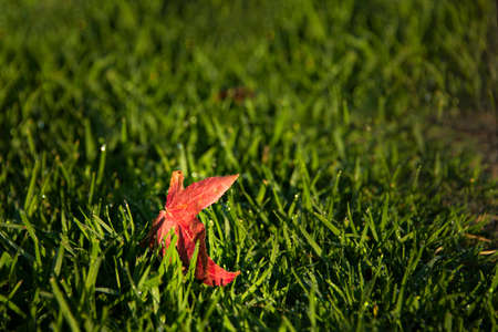 A bright red autumn leaf sitting on the green grass with morning dew Imagens