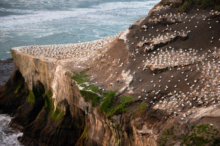 Gannets resting at Muriwai gannet colony, Waitakere, Auckland Imagens
