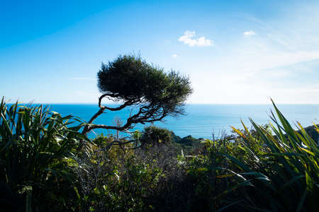 A lone tree on the Whites beach walkway over the hills from the north end of the Piha beach, Auckland