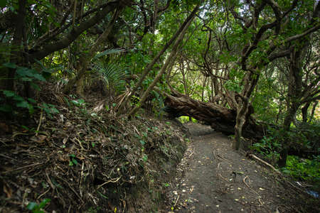 Fallen big tree in the forest. Image taken in Anawhata track to the beach, Auckland.