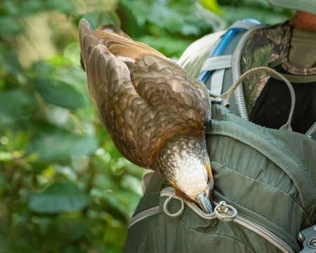 A cheeky New Zealand Kaka trying to steal food from tourist's backpack Stock fotó