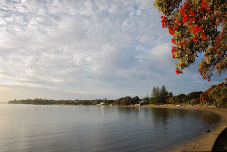 The Pohutukawa tree which is also called the New Zealand Christmas tree in full bloom at Takapuna beach in summer