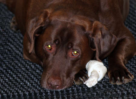 labrador teeth: Dog taking a break from chewing the bone