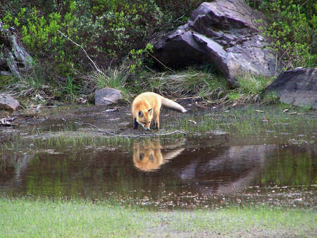 animal den: The young fox seems to be looking at his reflection in the pond  Stock Photo