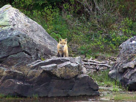 animal den: Young curious fox watching cautiously from the top of a rock