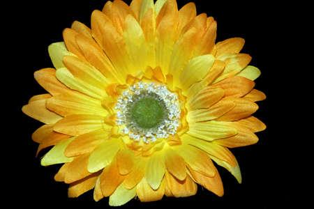 Yellow Daisy Flower Isolated on Black Stock Photo - 13432100