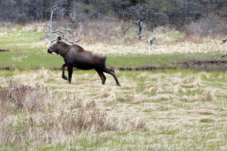 Moose on the run photo