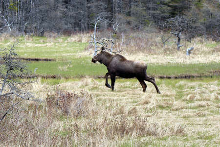 Moose on the run photo