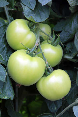 Tomatoes on a vine photo