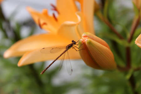 Small dragonfly on orange lily photo