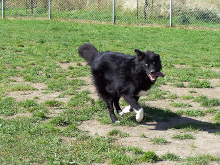 running nose: Funny dog running with his tongue hanging out