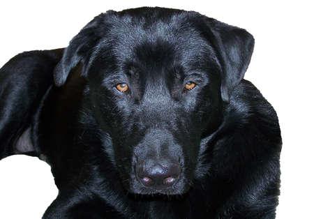 labrador teeth: Black labrador retriever dog