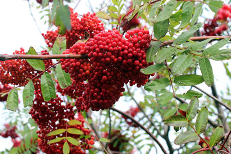 decora: Dogberry trees and berries