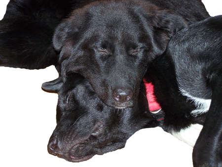 Large black dogs tired and sleepy from play photo