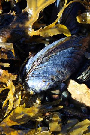 silvery: Mussel in the kelp