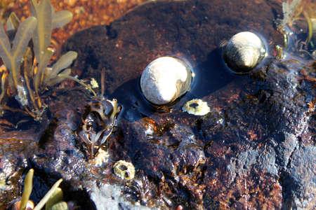 Snail shells stuck on a beach rock