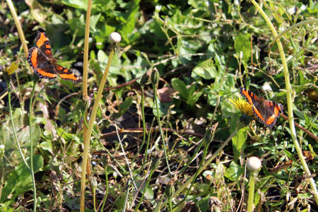 Two monarch butterflies in the grass and weeds photo